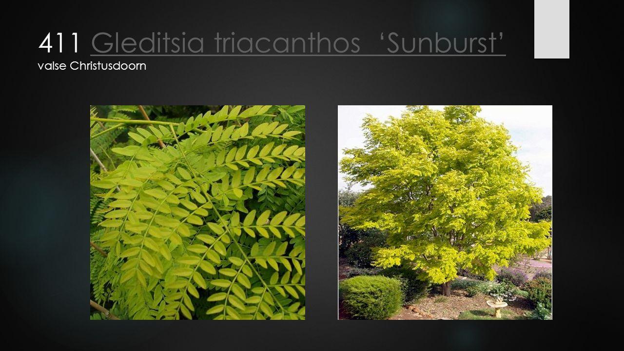 411 Gleditsia triacanthos 'Sunburst' valse ChristusdoornGleditsia triacanthos 'Sunburst'