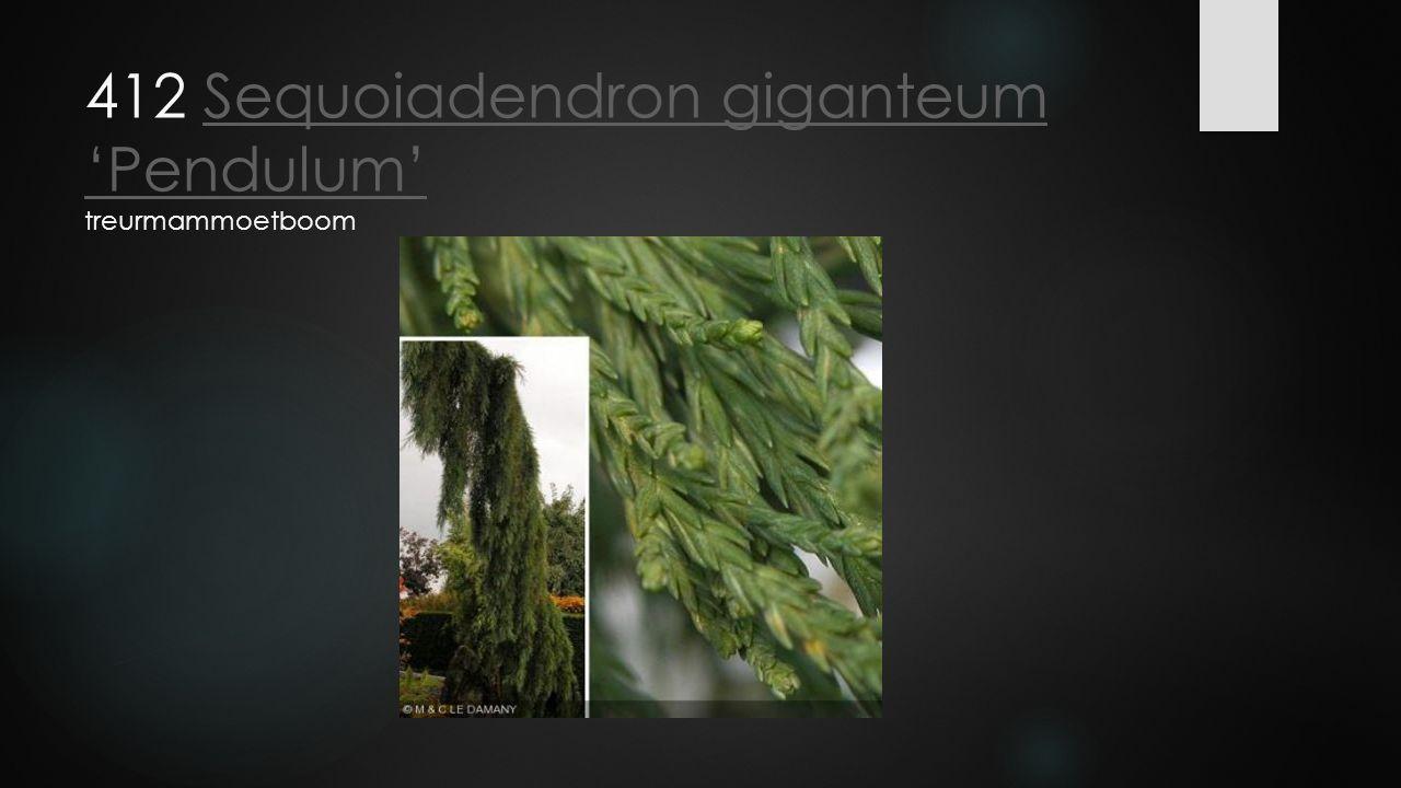 412 Sequoiadendron giganteum 'Pendulum' treurmammoetboomSequoiadendron giganteum 'Pendulum'