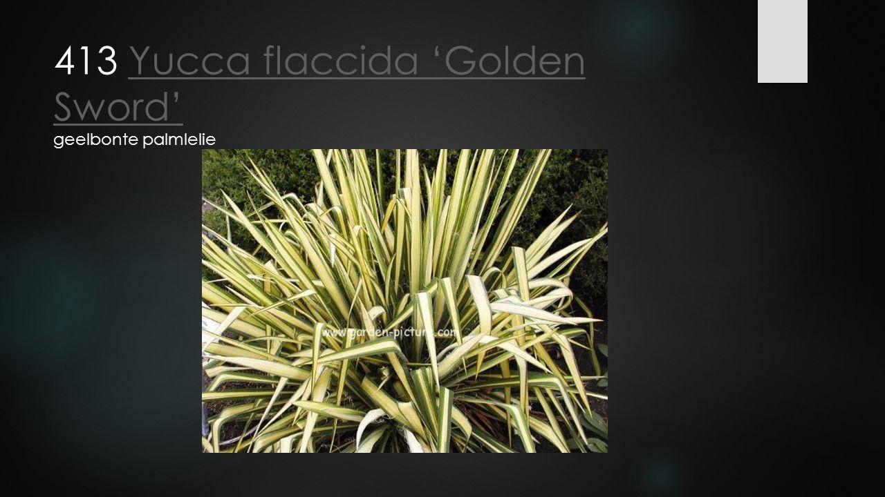 413 Yucca flaccida 'Golden Sword' geelbonte palmlelieYucca flaccida 'Golden Sword'
