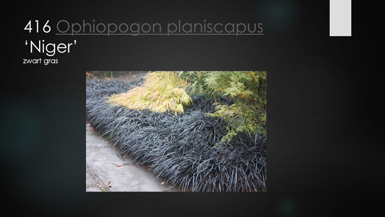 416 Ophiopogon planiscapus 'Niger' zwart grasOphiopogon planiscapus