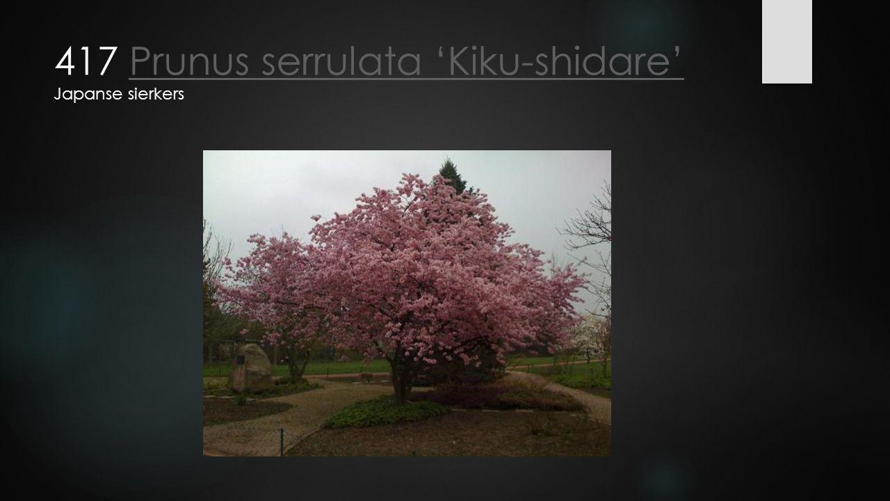 417 Prunus serrulata 'Kiku-shidare' Japanse sierkersPrunus serrulata 'Kiku-shidare'
