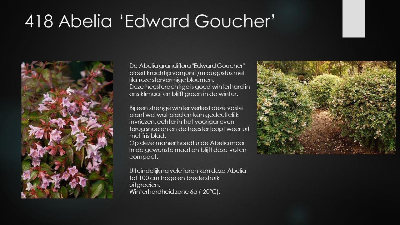 418 Abelia 'Edward Goucher' De Abelia grandiflora