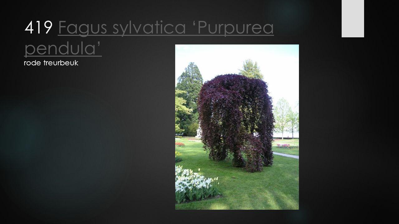 419 Fagus sylvatica 'Purpurea pendula' rode treurbeukFagus sylvatica 'Purpurea pendula'