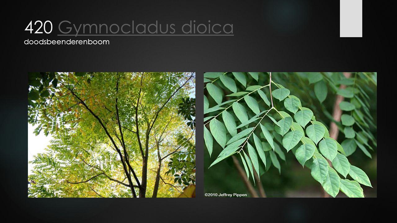 420 Gymnocladus dioica doodsbeenderenboomGymnocladus dioica