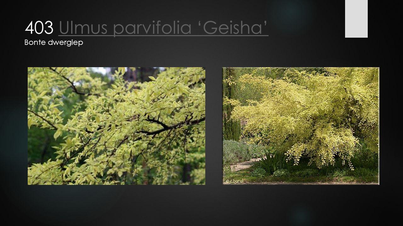 403 Ulmus parvifolia 'Geisha' Bonte dwergiepUlmus parvifolia 'Geisha'