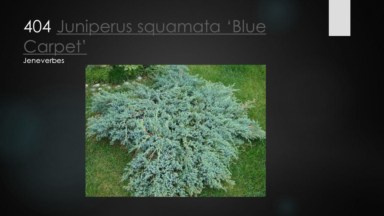 404 Juniperus squamata 'Blue Carpet' JeneverbesJuniperus squamata 'Blue Carpet'