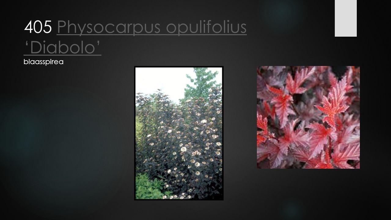 405 Physocarpus opulifolius 'Diabolo' blaasspireaPhysocarpus opulifolius 'Diabolo'