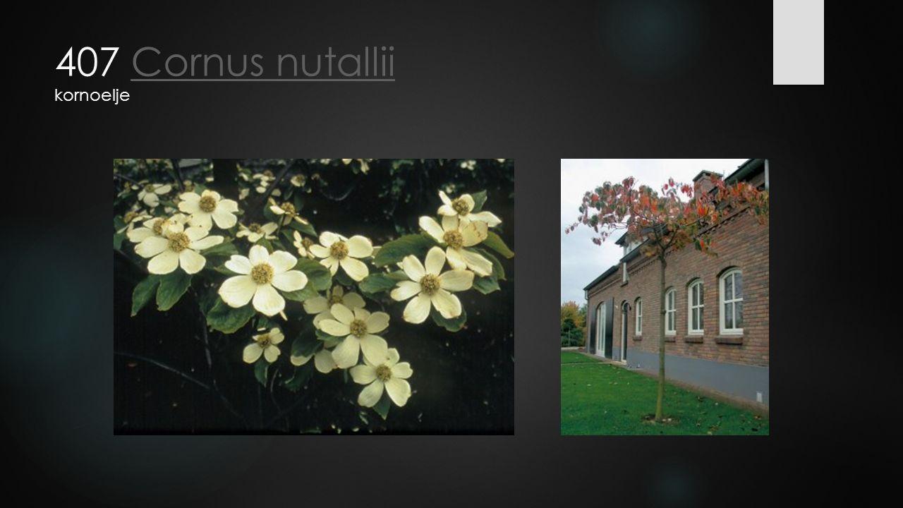 407 Cornus nutallii kornoeljeCornus nutallii