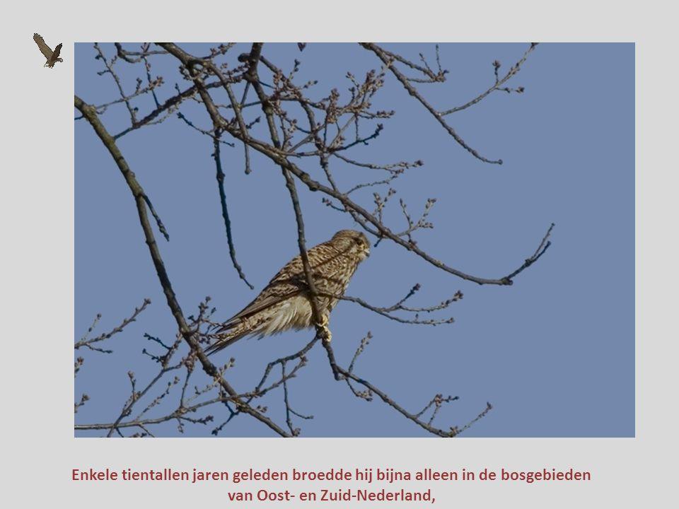 Tegenwoordig is de buizerd de talrijkste roofvogel van ons land. Hij heeft de torenvalk van de eerste plaats verdrongen...