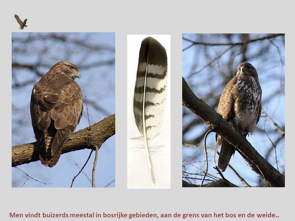 Enkele tientallen jaren geleden broedde hij bijna alleen in de bosgebieden van Oost- en Zuid-Nederland,