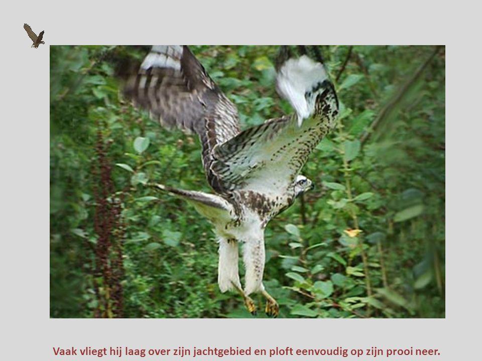 Een buizerd heeft brede vleugels en een korte staart. Het is een langzame vlieger