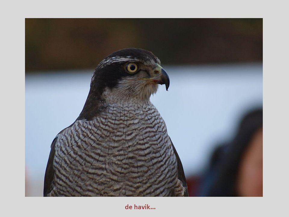 In Nederland en België broeden aardig wat soorten roofvogels: havik, sperwer, wespendief, zeearend, rode wouw, kiekendieven, torenvalk, boomvalk, slec
