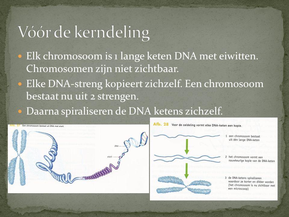 Elk chromosoom is 1 lange keten DNA met eiwitten. Chromosomen zijn niet zichtbaar. Elke DNA-streng kopieert zichzelf. Een chromosoom bestaat nu uit 2
