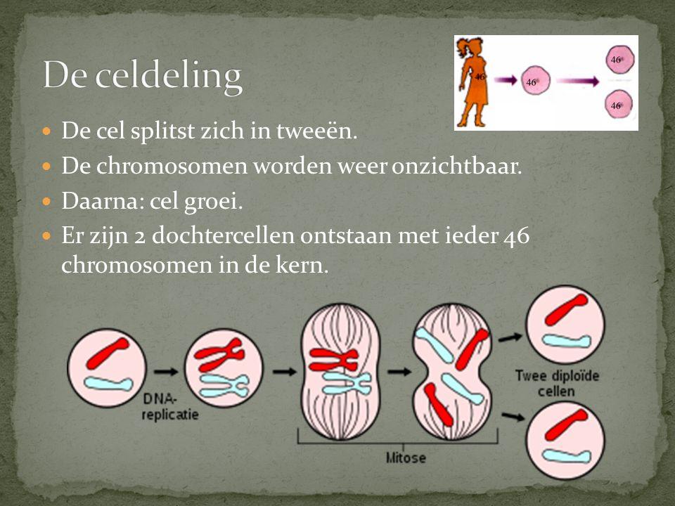 De cel splitst zich in tweeën. De chromosomen worden weer onzichtbaar. Daarna: cel groei. Er zijn 2 dochtercellen ontstaan met ieder 46 chromosomen in