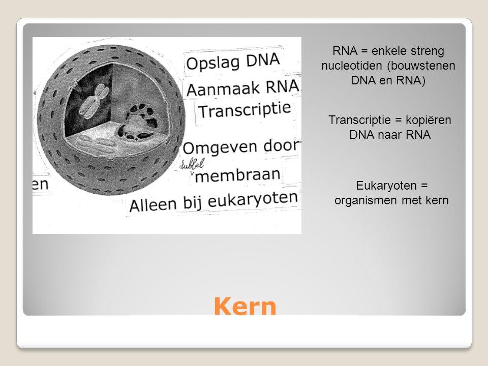 Kern RNA = enkele streng nucleotiden (bouwstenen DNA en RNA) Transcriptie = kopiëren DNA naar RNA Eukaryoten = organismen met kern