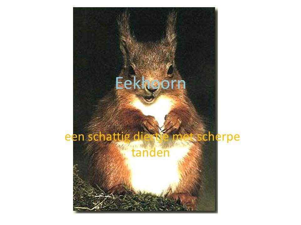vindplaats De eekhoorn komt vooral voor in bossen met hoge bomen… Het is een typisch europees diertje.