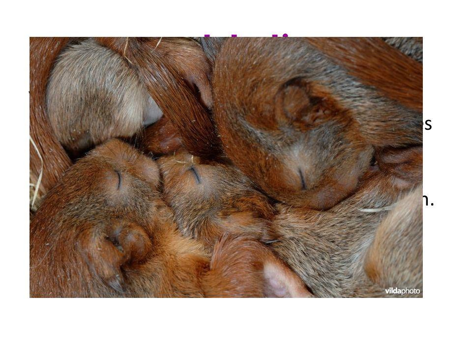 Bijzonderheden De eekhoorn heeft een zeer opvallende staart.