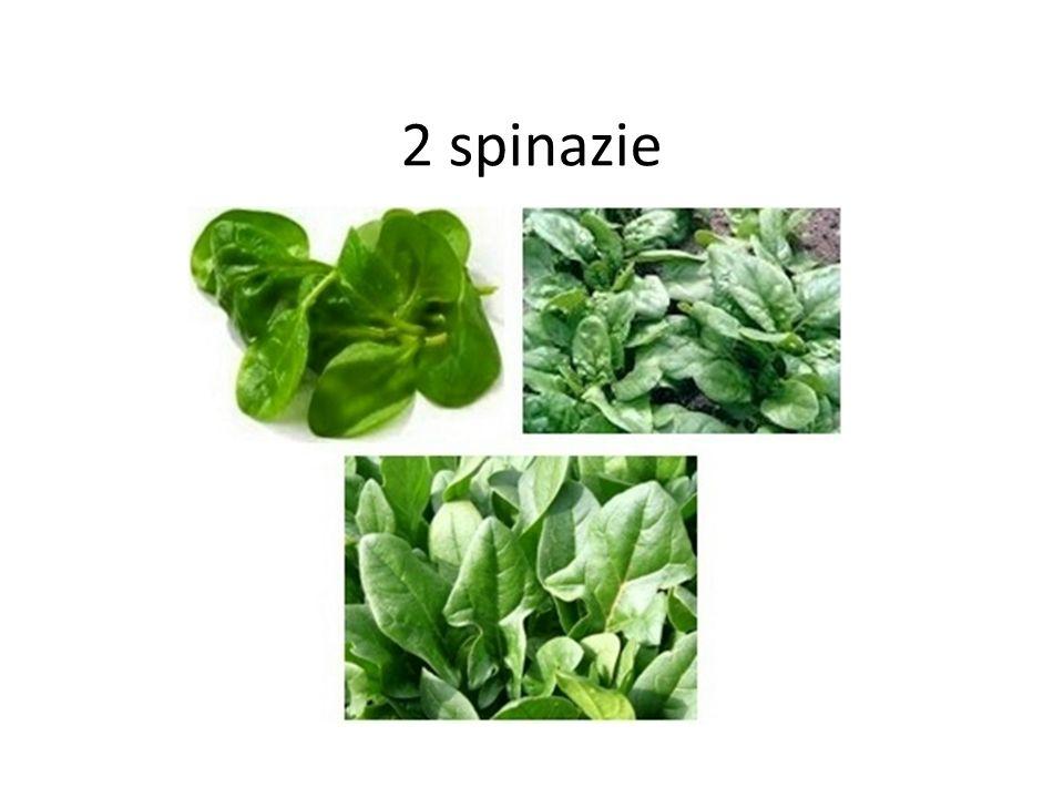 24 spruitkool