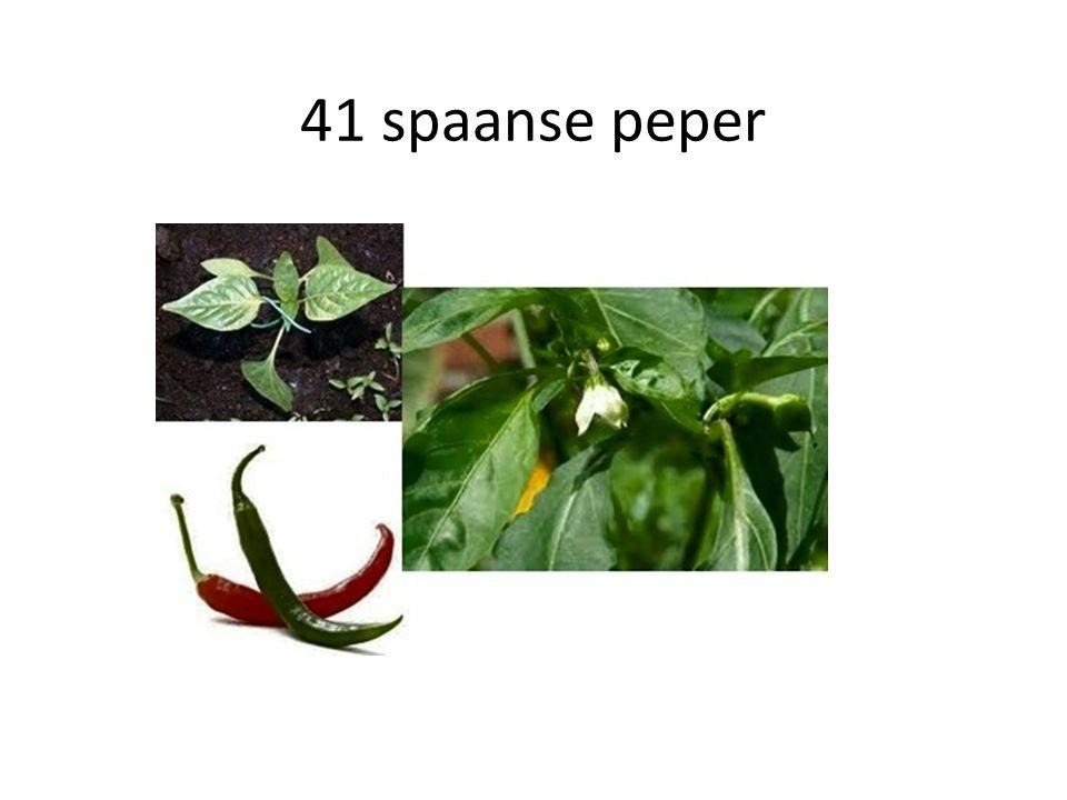 41 spaanse peper