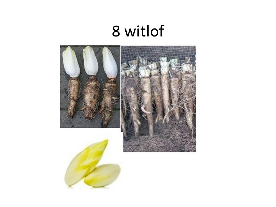 8 witlof