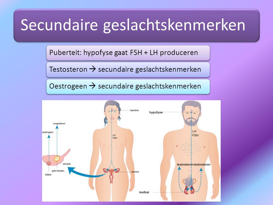 Secundaire geslachtskenmerken Puberteit: hypofyse gaat FSH + LH producerenTestosteron  secundaire geslachtskenmerkenOestrogeen  secundaire geslachts