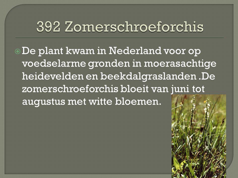 De plant kwam in Nederland voor op voedselarme gronden in moerasachtige heidevelden en beekdalgraslanden.De zomerschroeforchis bloeit van juni tot augustus met witte bloemen.