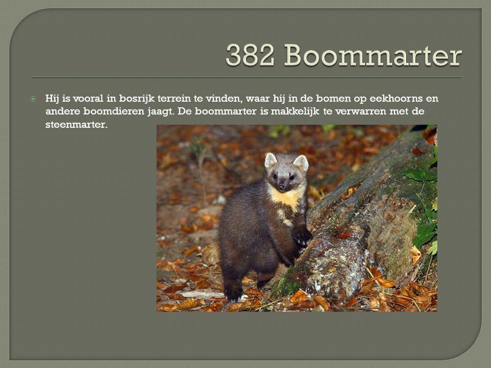  Hij is vooral in bosrijk terrein te vinden, waar hij in de bomen op eekhoorns en andere boomdieren jaagt. De boommarter is makkelijk te verwarren me