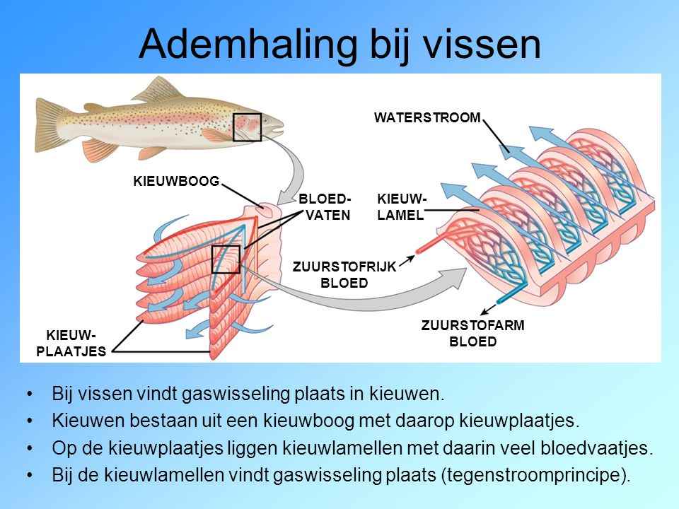 Ademhaling bij vissen Bij vissen vindt gaswisseling plaats in kieuwen. Kieuwen bestaan uit een kieuwboog met daarop kieuwplaatjes. Op de kieuwplaatjes
