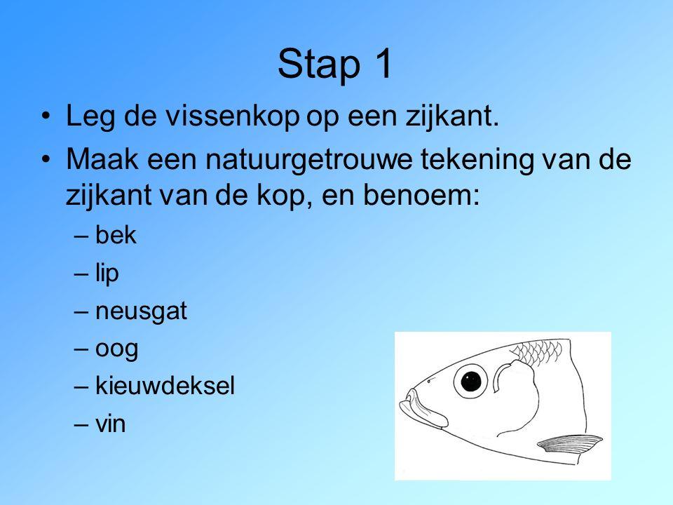 Stap 1 Leg de vissenkop op een zijkant. Maak een natuurgetrouwe tekening van de zijkant van de kop, en benoem: –bek –lip –neusgat –oog –kieuwdeksel –v