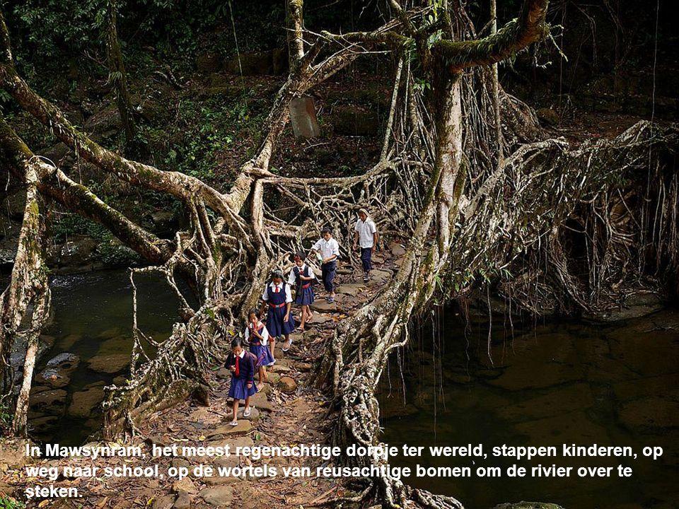 In Mawsynram, het meest regenachtige dorpje ter wereld, stappen kinderen, op weg naar school, op de wortels van reusachtige bomen om de rivier over te