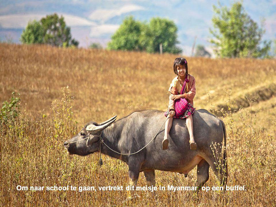 Om naar school te gaan, vertrekt dit meisje in Myanmar op een buffel.