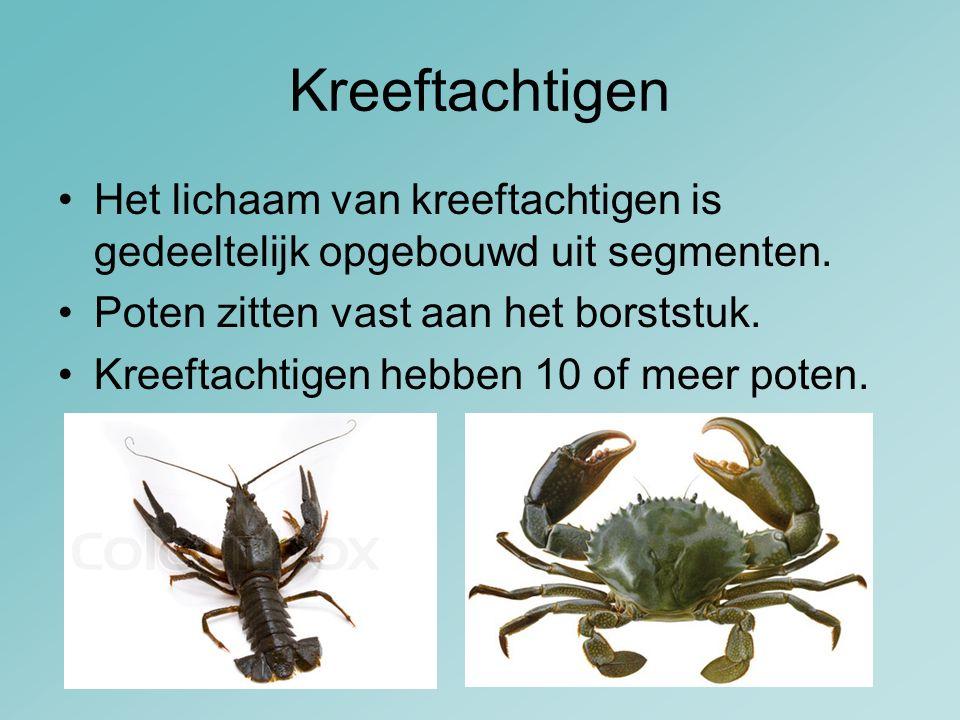 Kreeftachtigen Het lichaam van kreeftachtigen is gedeeltelijk opgebouwd uit segmenten. Poten zitten vast aan het borststuk. Kreeftachtigen hebben 10 o