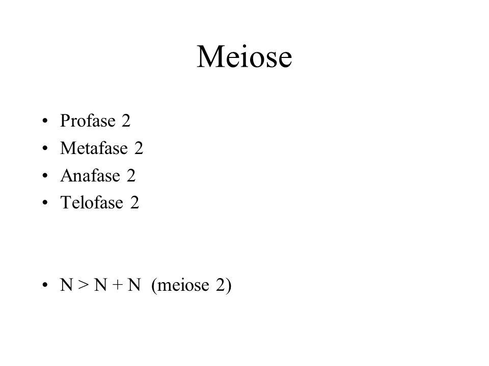 Meiose Profase 2 Metafase 2 Anafase 2 Telofase 2 N > N + N (meiose 2)