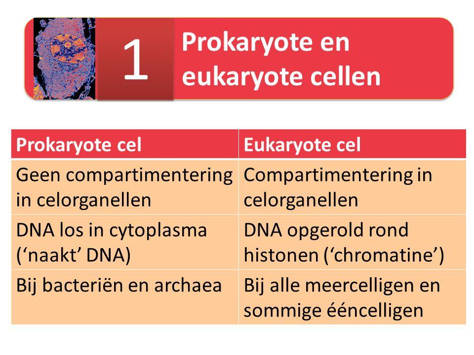 Prokaryote en eukaryote cellen 1 1 Prokaryote celEukaryote cel Geen compartimentering in celorganellen Compartimentering in celorganellen DNA los in cytoplasma ('naakt' DNA) DNA opgerold rond histonen ('chromatine') Bij bacteriën en archaeaBij alle meercelligen en sommige ééncelligen