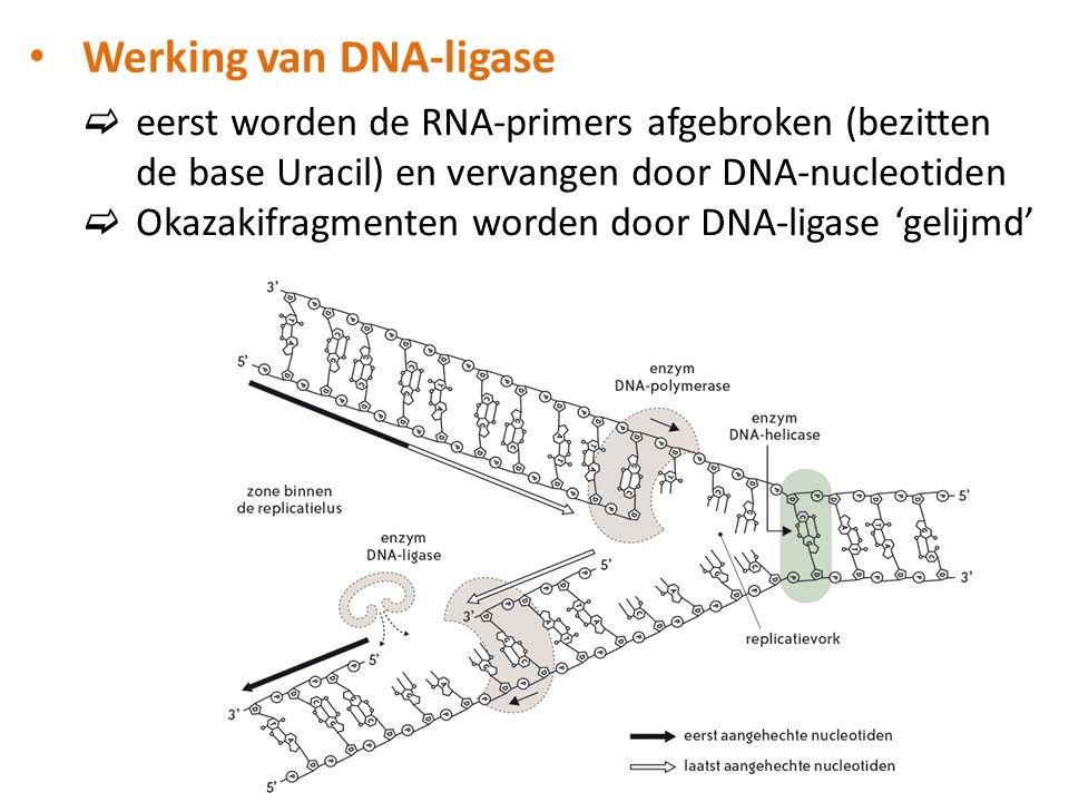 Werking van DNA-ligase  eerst worden de RNA-primers afgebroken (bezitten de base Uracil) en vervangen door DNA-nucleotiden  Okazakifragmenten worden door DNA-ligase 'gelijmd'