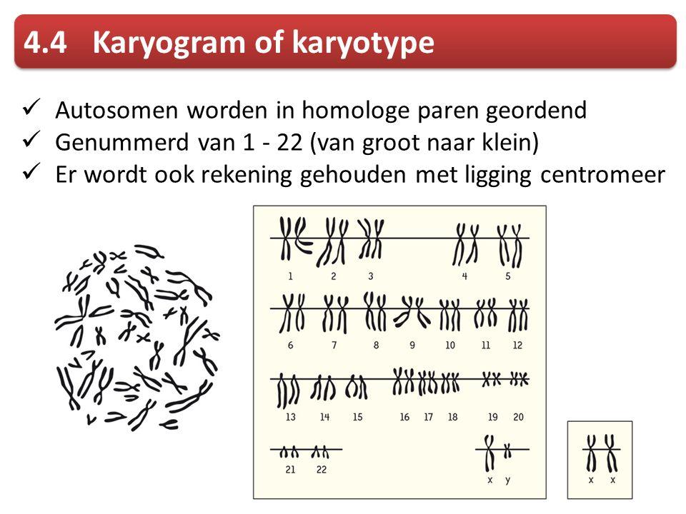 Autosomen worden in homologe paren geordend Genummerd van 1 - 22 (van groot naar klein) Er wordt ook rekening gehouden met ligging centromeer 4.4Karyogram of karyotype