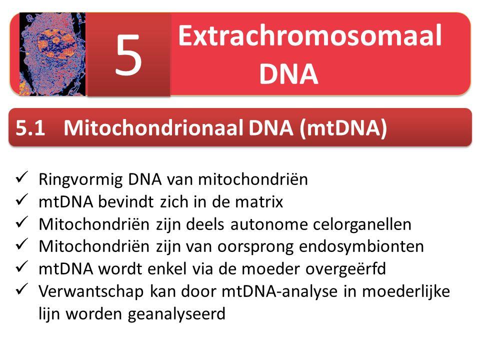 Extrachromosomaal DNA 5 5 5.1Mitochondrionaal DNA (mtDNA) Ringvormig DNA van mitochondriën mtDNA bevindt zich in de matrix Mitochondriën zijn deels autonome celorganellen Mitochondriën zijn van oorsprong endosymbionten mtDNA wordt enkel via de moeder overgeërfd Verwantschap kan door mtDNA-analyse in moederlijke lijn worden geanalyseerd