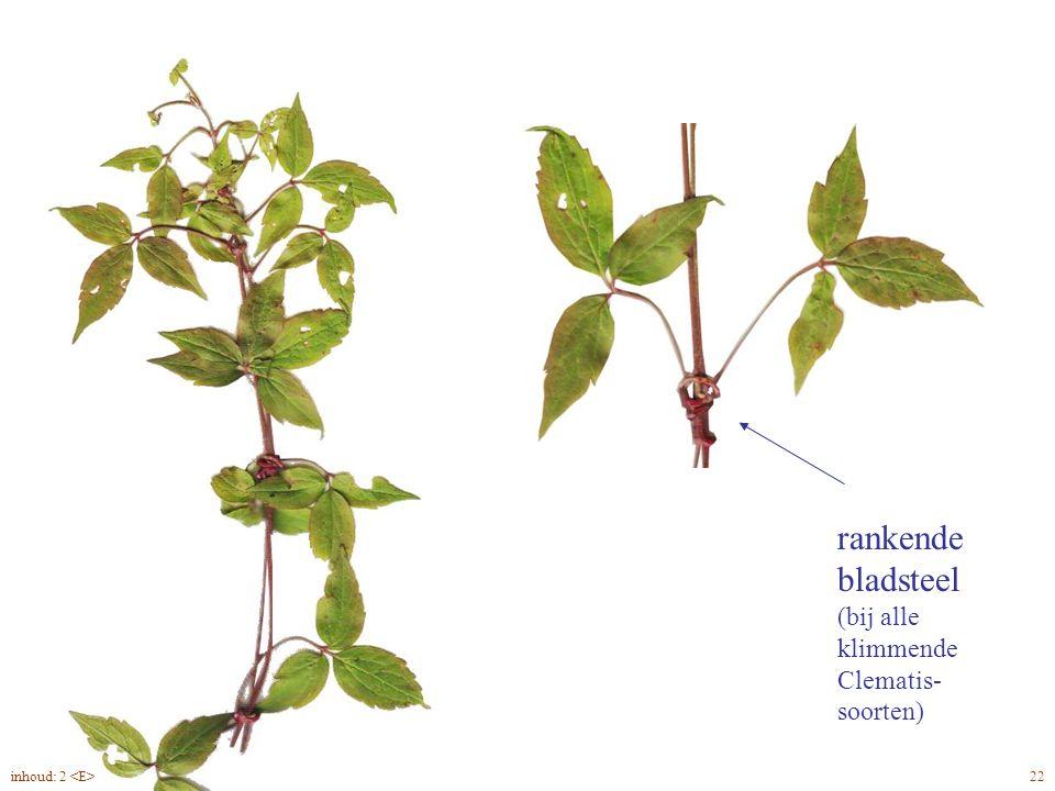 rankende bladsteel (bij alle klimmende Clematis- soorten) Clematis montana blad, rank 22inhoud: 2