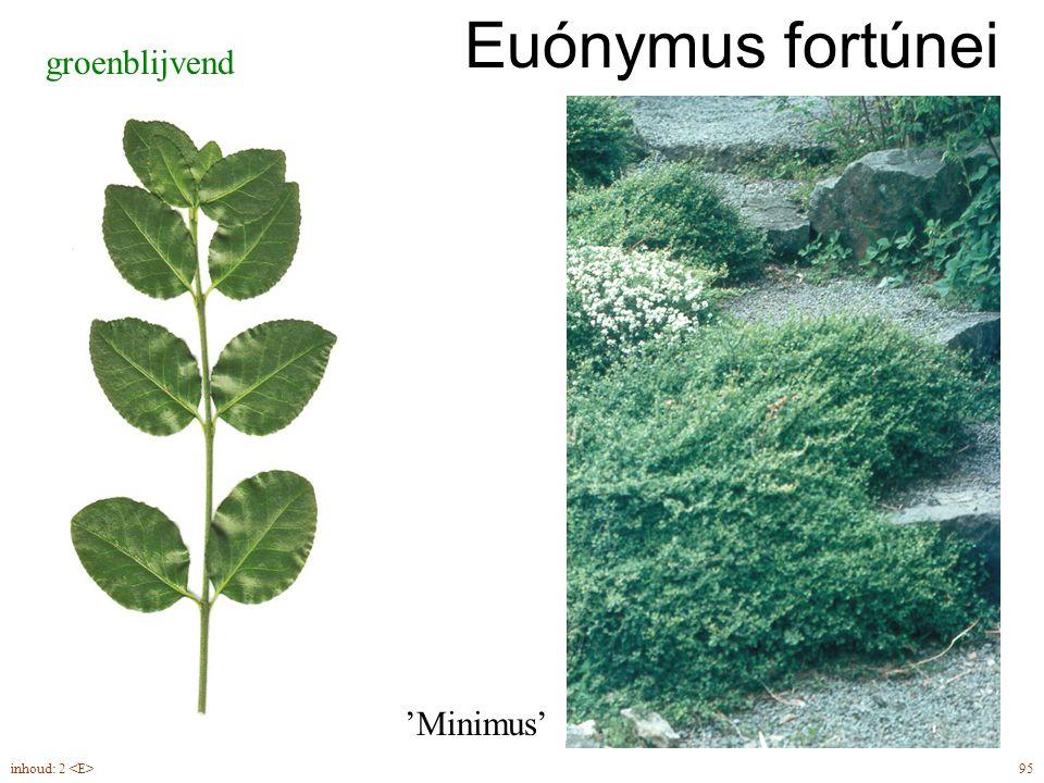 Euónymus fortúnei groenblijvend 95inhoud: 2 'Minimus'