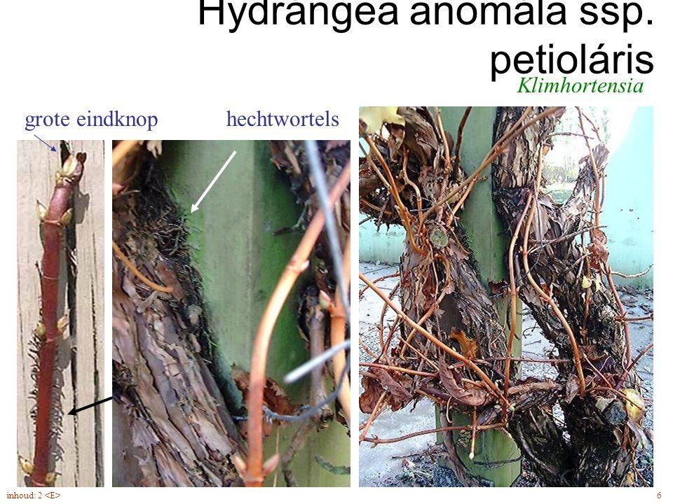 Hydrángea anomála ssp. petioláris Klimhortensia hechtwortelsgrote eindknop 6inhoud: 2