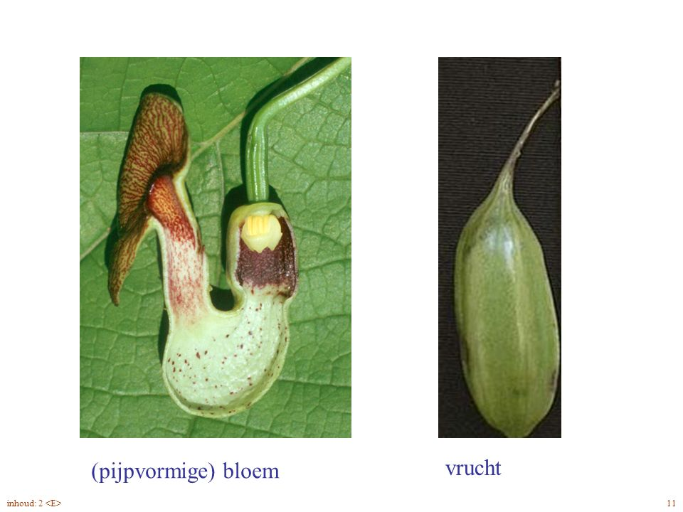 (pijpvormige) bloem vrucht Aristolochia macrophylla bloem, vrucht 11inhoud: 2