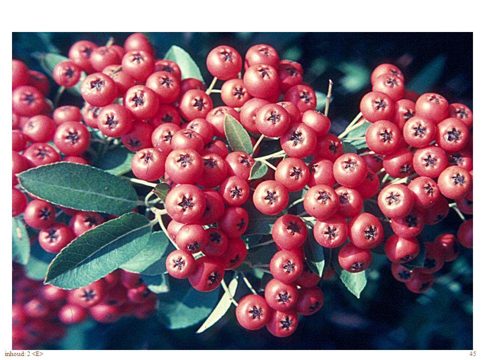 Pyracantha bloei, vrucht 45inhoud: 2