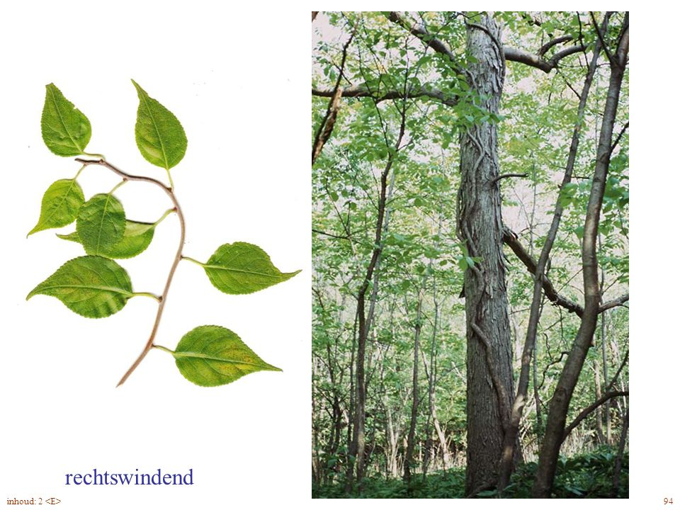 rechtswindend Celástrus orbiculátus blad, slinger 94inhoud: 2