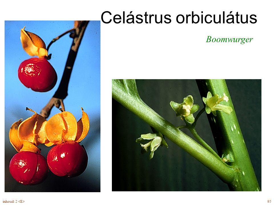 Forsythia suspensa blad, leiplant 2inhoud: 2 leiplant