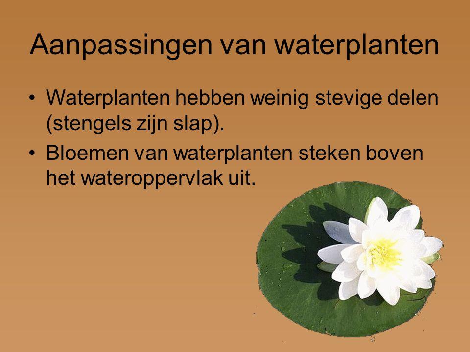 Aanpassingen van waterplanten Waterplanten hebben weinig stevige delen (stengels zijn slap). Bloemen van waterplanten steken boven het wateroppervlak
