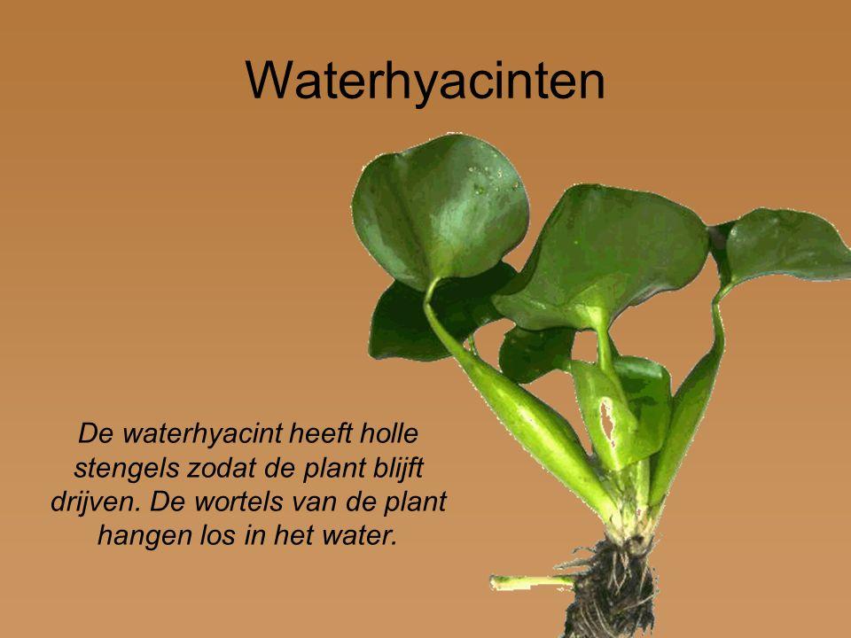 De waterhyacint heeft holle stengels zodat de plant blijft drijven. De wortels van de plant hangen los in het water. Waterhyacinten