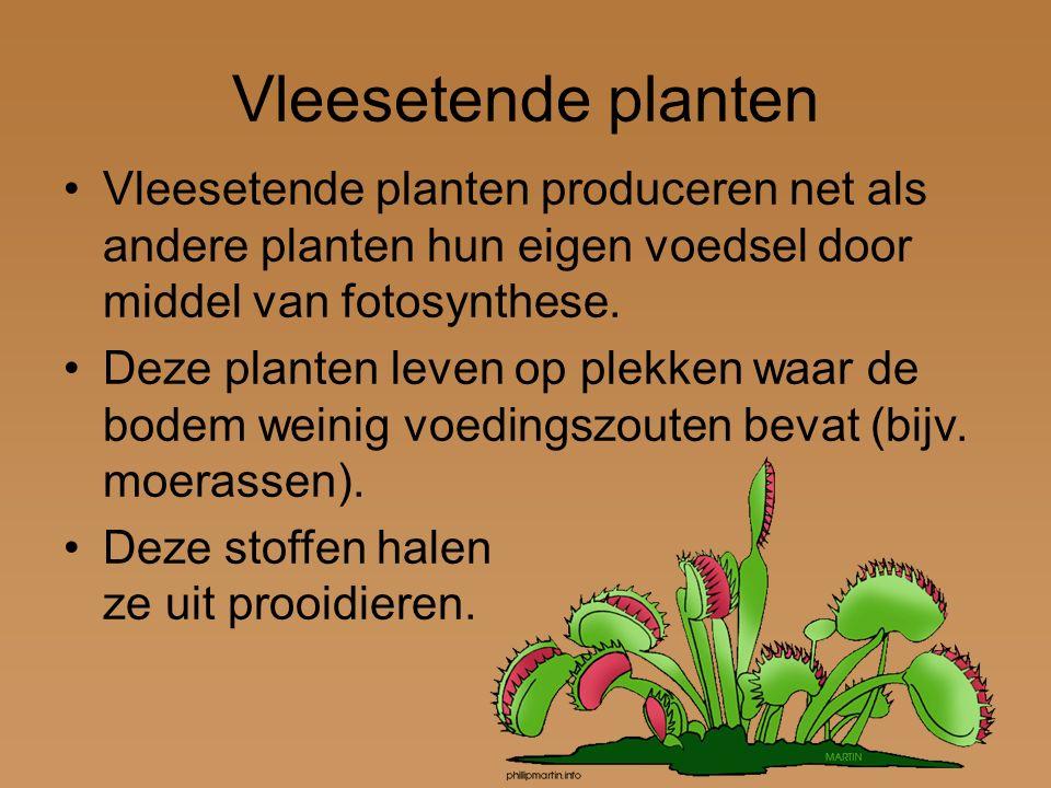 Vleesetende planten Vleesetende planten produceren net als andere planten hun eigen voedsel door middel van fotosynthese. Deze planten leven op plekke