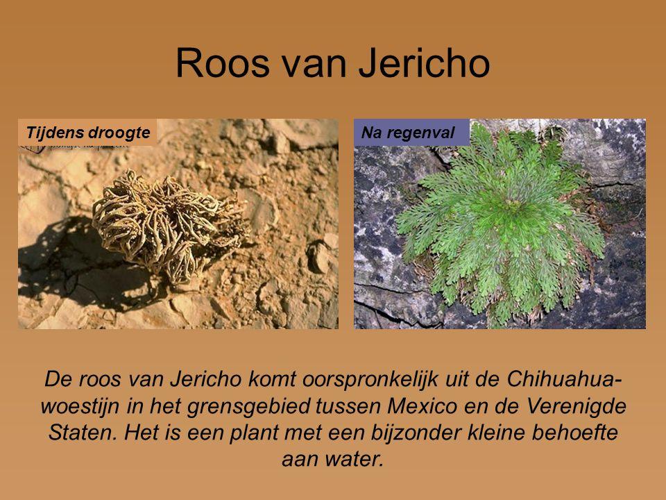 Roos van Jericho De roos van Jericho komt oorspronkelijk uit de Chihuahua- woestijn in het grensgebied tussen Mexico en de Verenigde Staten. Het is ee