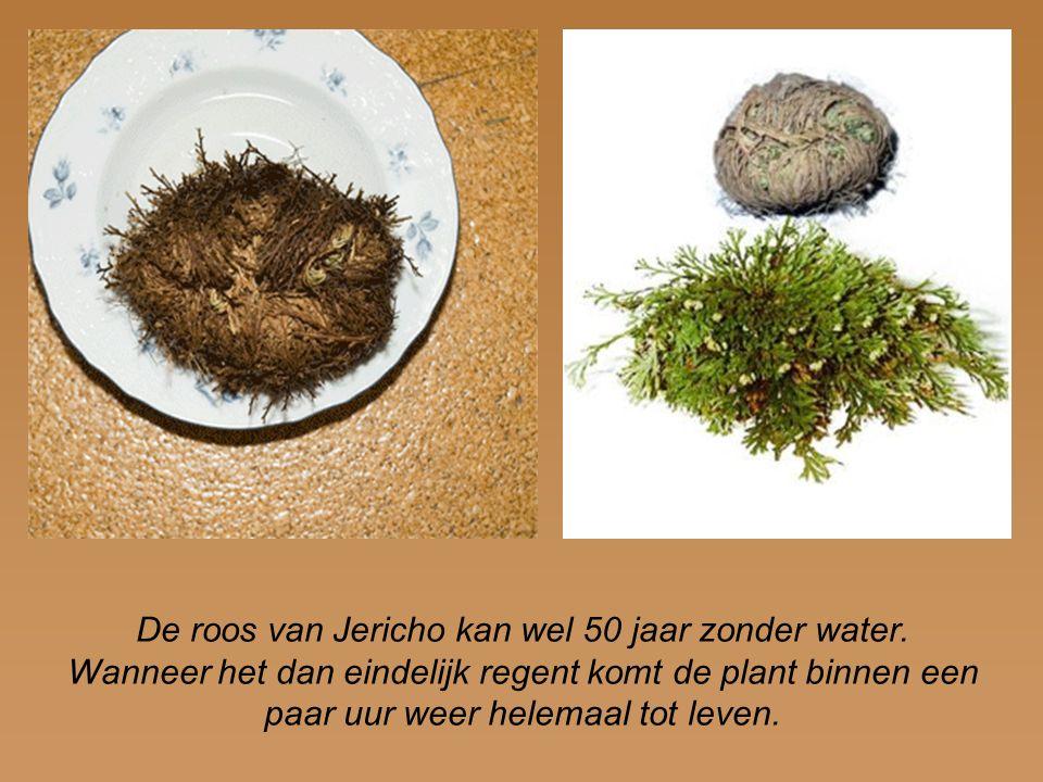 De roos van Jericho kan wel 50 jaar zonder water. Wanneer het dan eindelijk regent komt de plant binnen een paar uur weer helemaal tot leven.