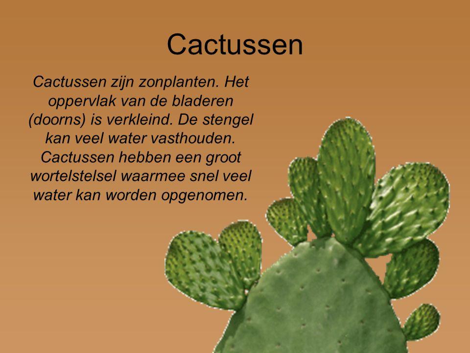 Cactussen zijn zonplanten. Het oppervlak van de bladeren (doorns) is verkleind. De stengel kan veel water vasthouden. Cactussen hebben een groot worte
